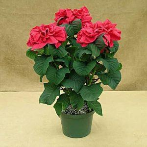 Tanaman hias Kastuba mawar merah daun keriting Poinsettia