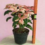 Tanaman hias Kastuba warna daun pink LANGKA