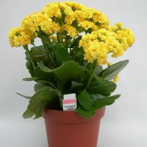 Tanaman hias Cocor bebek bunga kuning