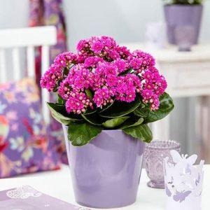 Tanaman hias Cocor bebek bunga ungu