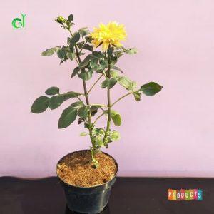 Tanaman hias Dahlia bunga kuning Ukuran besar