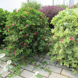 Tanaman hias Aptenia cordifolia bunga merah