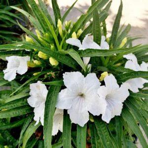 Tanaman hias Ruellia bunga putih