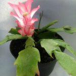Tanaman hias Wijaya kusuma kepiting bunga pink