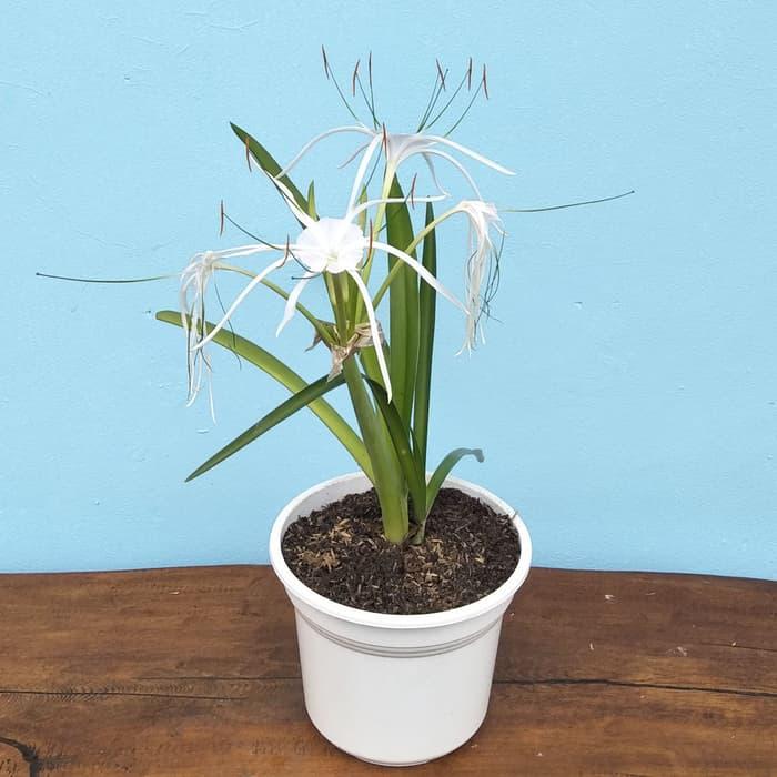 Tanaman hias Bakung amarilys bunga putih