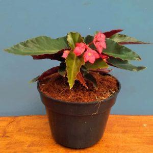 Tanaman hias Begonia api bunga merah
