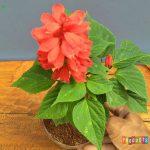 Tanaman hias Salvia bunga merah