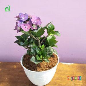Tanaman hias Hortensia bunga ungu IMPORT