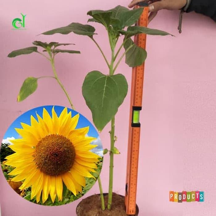 Tanaman hias Bunga matahari helianthus annuus