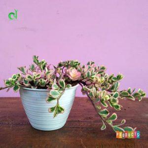 Tanaman hias Moss rose variegata