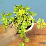 Tanaman hias Moss rose bunga daun golden