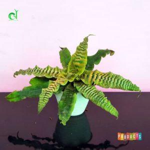 Tanaman hias Cryptanthus daun hijau