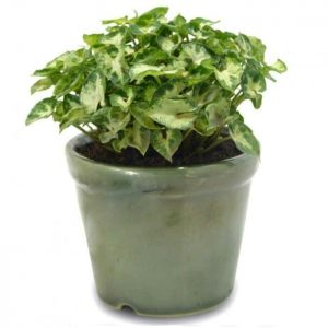 Tanaman hias Keladi micro mini daun putih