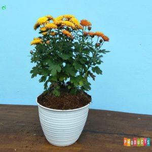 Tanaman hias Krisan bunga orange