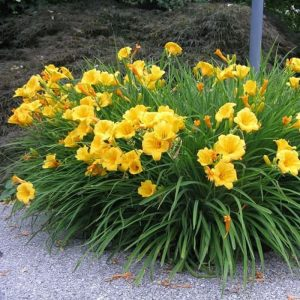 Tanaman hias Lily bunga kuning
