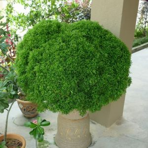 Tanaman hias Akalipa brokoli hijau