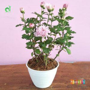 Tanaman hias Krisan bunga pink