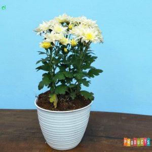 Tanaman hias Krisan bunga putih