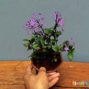 Tanaman hias Lavender monic purple