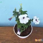 Tanaman hias Petunia bunga putih garis ungu
