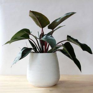 Tanaman hias Philodendron congo rojo
