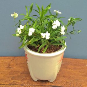 Tanaman hias Anyelir bunga putih
