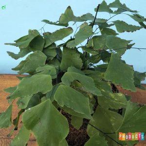 Tanaman hias Suplir daun besar