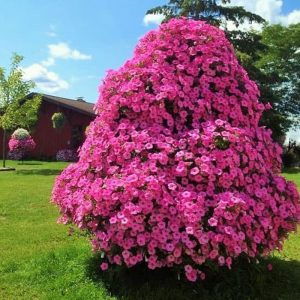 Tanaman hias Vinca gantung bunga pink IMPORT