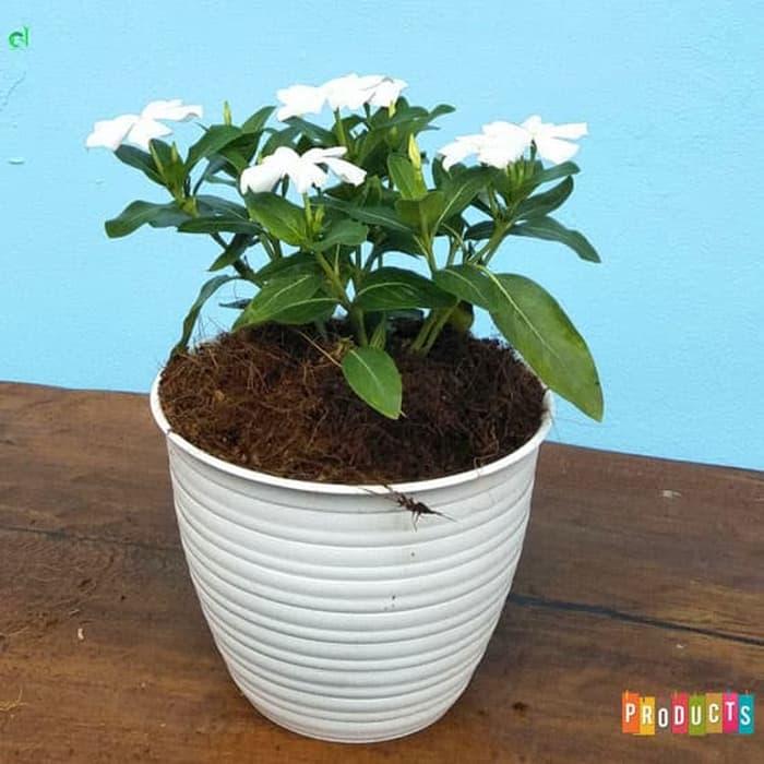 Tanaman hias Vinca gantung bunga putih IMPORT