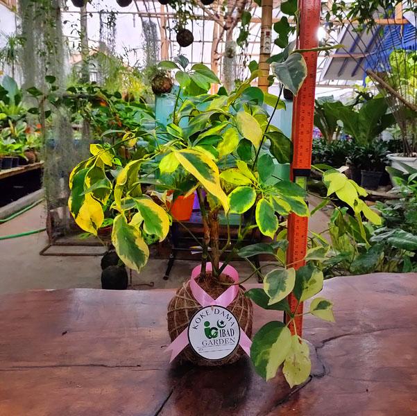 Tanaman hias KOKEDAMA Walisongo hybrid schefflera arboricola variegata