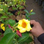 Tanaman hias Alamanda bunga kuning