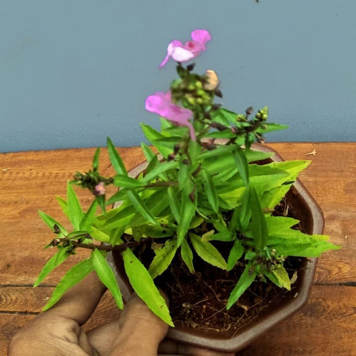Tanaman hias Angelonia bunga pink