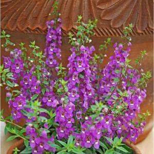 Tanaman hias Angelonia bunga ungu