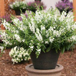 Tanaman hias Angelonia bunga putih