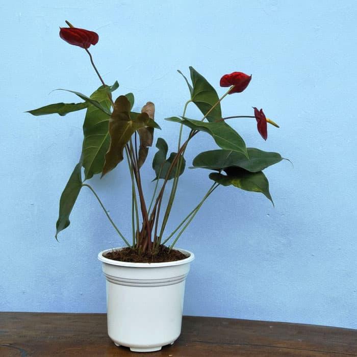 Tanaman hias Anthurium bunga merah HOLLAND