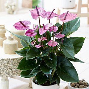 Tanaman hias Anthurium bunga ungu HOLLAND