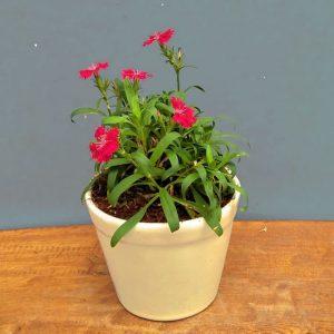 Tanaman hias Anyelir bunga merah