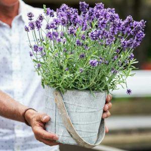Tanaman hias English lavender asli bunga ungu