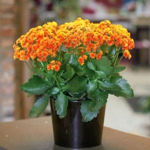 Tanaman hias Cocor bebek bunga orange