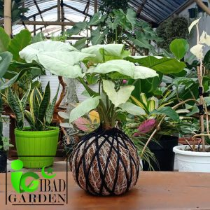 Tanaman hias KOKEDAMA Syngonium podophyllum imperial white