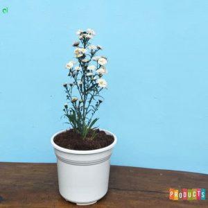 Tanaman hias Krisan mahrit bunga putih