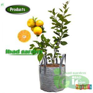 Bibit jeruk Baby Tinggi 1 meter up kondisi pernah berbuah