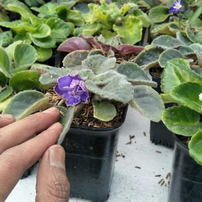 PAKET Tanaman 9 african violets warna bunga RANDOM