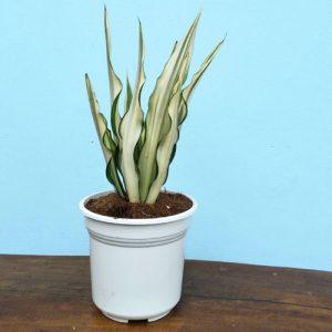 tanaman agave