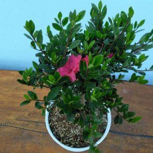 Tanaman hias Azalea bunga ungu