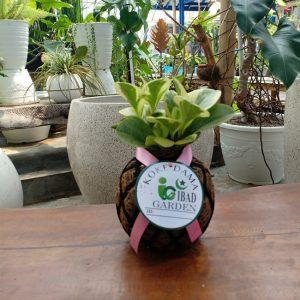 Tanaman hias KOKEDAMA Peperomia obtusifolia