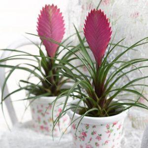 Tanaman hias Tillandsia bunga ungu